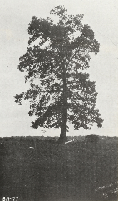 Photograph of the Tree where Generals Robert E. Lee and Ulysses S. Grant Met