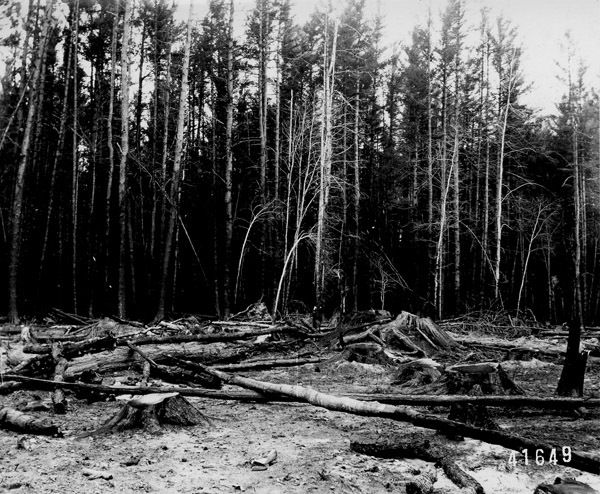 Photograph of Young Sap Pine Totally Killed by Fire of October 1908 in Antrim County, Michigan