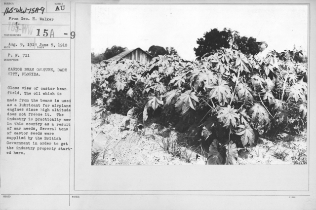 Airplanes - Materials - Castor Bean Culture, Dade City, Florida. Close view of castor bean field. The oil which is made from the beans is used as a lubricant for airplane engines since high altitude does not freeze it. The industry is practically new in this country as a result of war needs. Several tons of castor seeds were supplied by the British government in order to get the industry properly started here. From Geo. H. Walker
