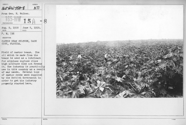 Airplanes - Materials - Castor Bean Culture, Dade City, Florida. Field of castor beans. The oil which is made from the beans is used as a lubricant for airplane engines since high altitude does not freeze it. The industry is practically new in this country as a result of war needs. Several tons of castor seeds were supplied by the British government in order to get the industry properly started here. From Geo. H. Walker