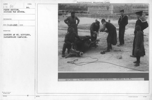 Shoeing an Ox. Mitylene, Dardanelles Campaign