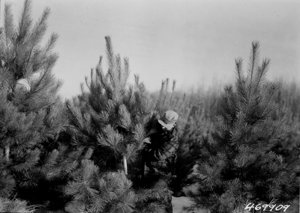 Photograph of J. S. Mason Inspecting a Norway Pine Christmas Tree Cut from a 10 Year Old Plantation on the Laona District
