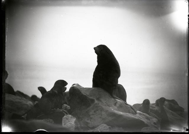 Fur Seal Bull