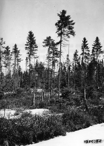 Photograph of an Open Area Gradually Restocking to Hardwoods