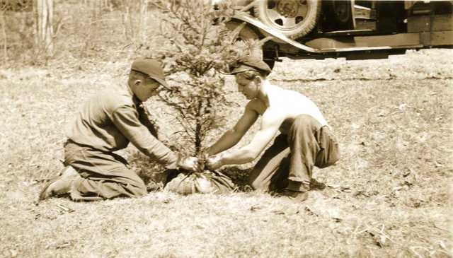 Young Trees Being Wrapped in Burlap
