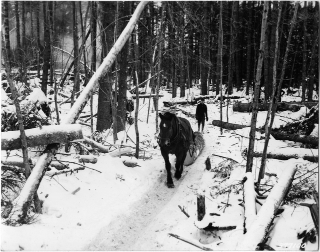 Worker Directs Horse in Twitching Logs out of Woods near Norway, Maine