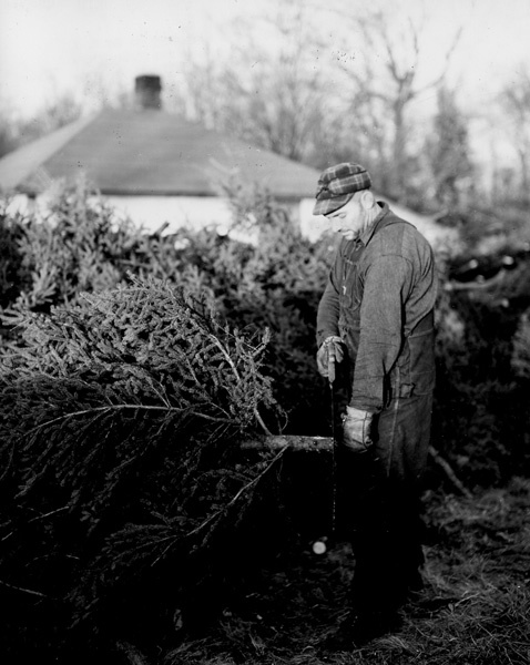 Photograph of Clarence Keller Butting Christmas Trees