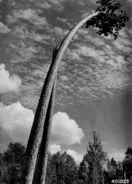 Photograph of Lone Survivor of a Once Beautiful Grove of Virgin Red Pine