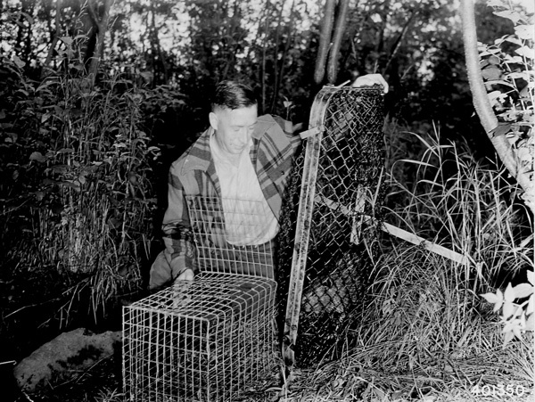 Photograph of Transferring a Beaver from a Live Trap to a Transporting Cage