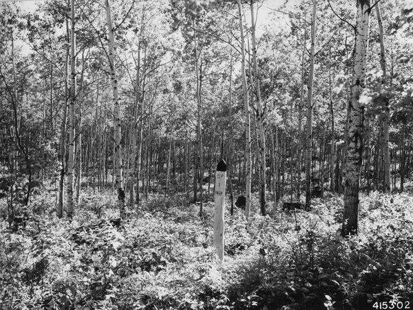 Photograph of Plantation Number 46B in the Washburn Ranger District