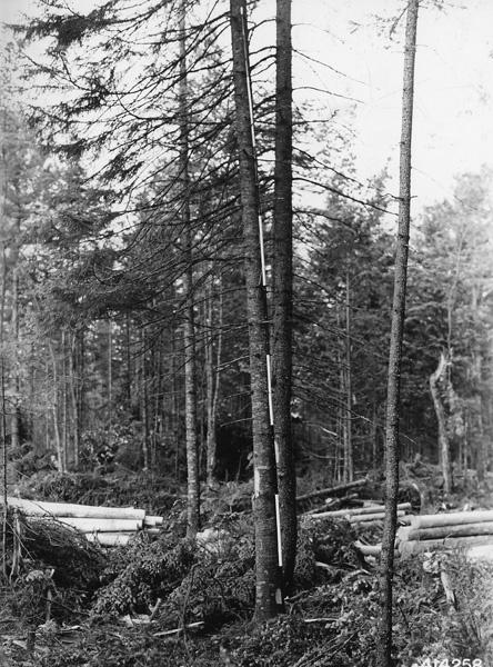 Photograph of Bole of Balsam Fir Tree