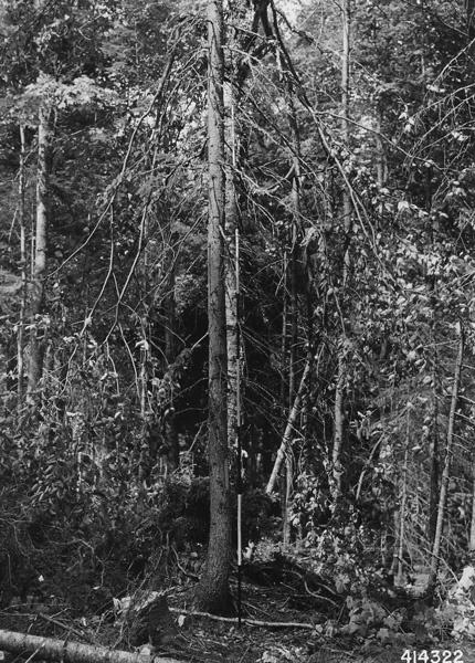 Photograph of Bole of White Spruce Tree