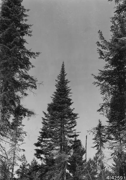 Photograph of Crown of Balsam Fir Tree