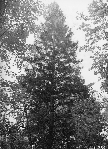 Photograph of Crown of White Spruce Tree
