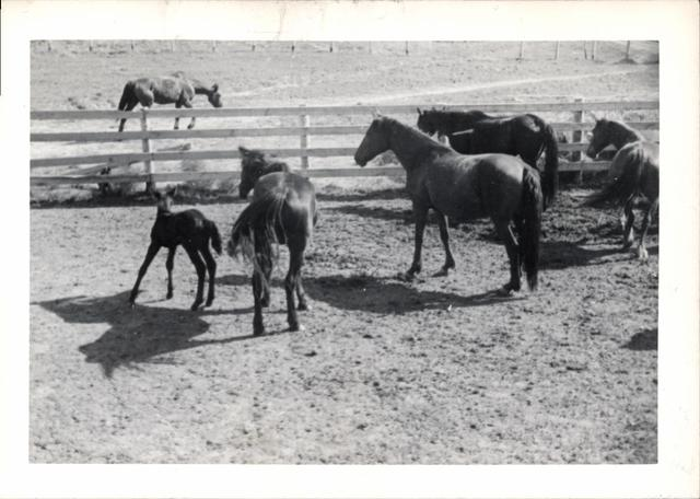 Five Horses and a Colt Near a Fence