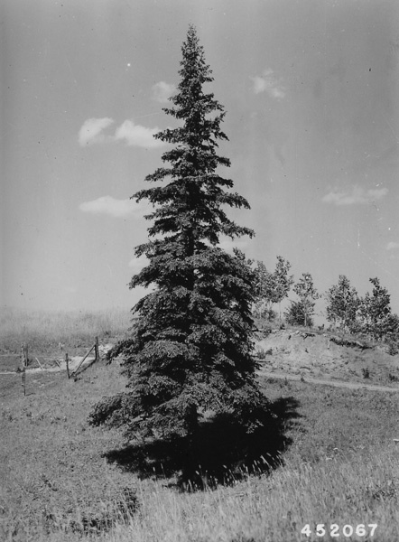 Photograph of 50 Year Old Open Grown White Spruce