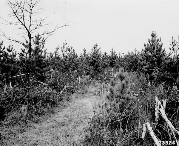 Photograph of High Release in Red Pine and White Pine in Furrows