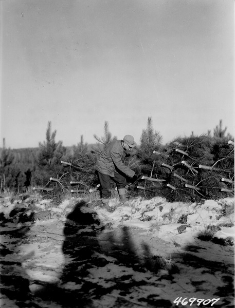 Photograph of Forest Supervisor D. E. Bulfer Checking Christmas Trees out from 10 Year Old Red Pine Plantation on the Laona District