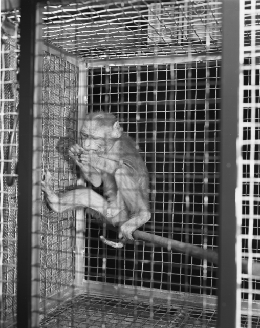 """Astatine studies, normal and experimental animals [monkey in a cage]. Photo taken 11/19/1951 for Dr. J. G. Hamilton's group. 60""""-390.  Principal Investigator/Project: Crocker Lab/60-inch"""