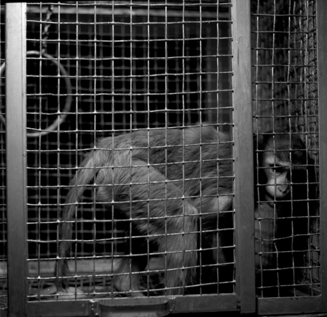 """Astatine studies, normal and experimental animals [monkey in a cage]. Photo taken 11/19/1951 for Dr. J. G. Hamilton's group. 60""""-393.  Principal Investigator/Project: Crocker Lab/60-inch"""