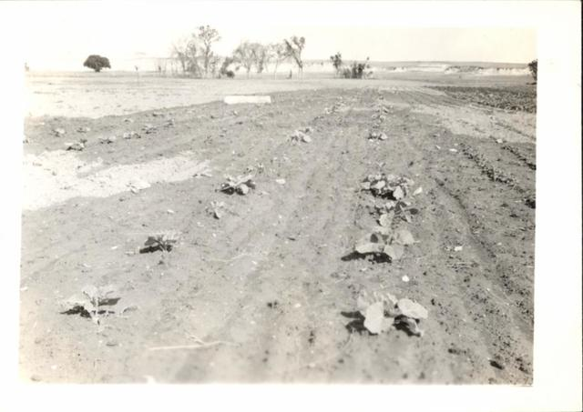 Farming (Cabbage Field Destroyed by Grasshoppers)