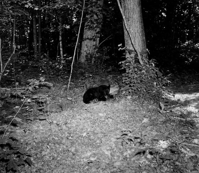 Photograph of Black Bear Cub at Anvil Lake Recreation Area