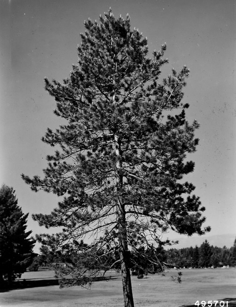 Photograph of Open Grown Red Pine