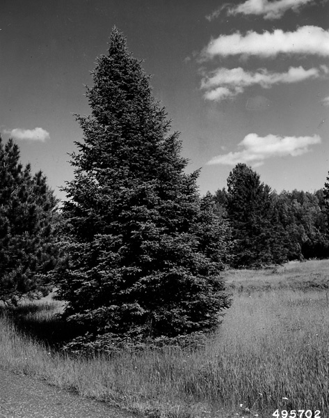 Photograph of Open Grown White Spruce