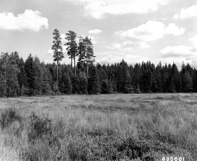 Photograph of Red Pine Reproduction with Overstory of Old Growth Red Pine