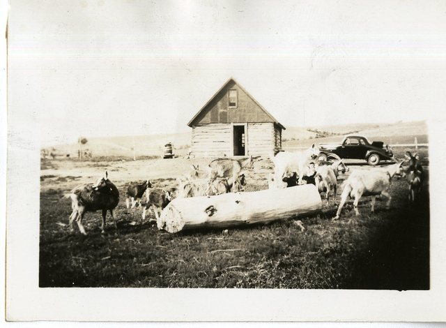 Charles Bordeau Goats, Car and House in Background