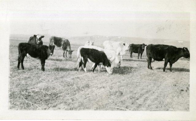 Robert Jackson's Rehabilitation Cows and Calves