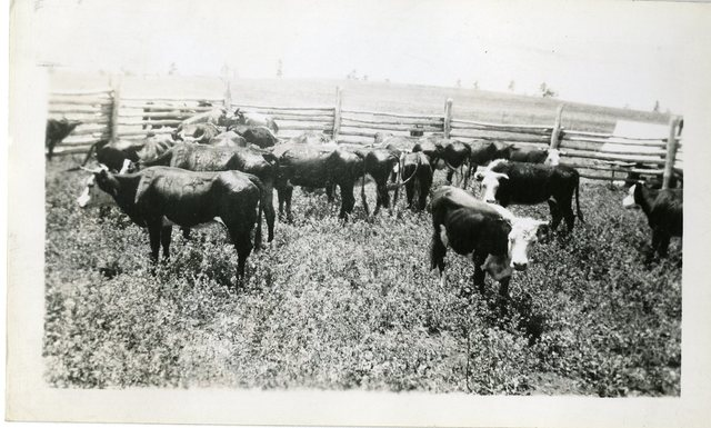 Some of Holbroon New Mexico. Rehabilitation Cattle