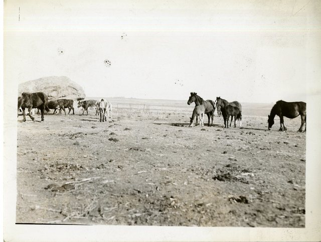Some of Peter Cournoper's Cattle and Horses, Mares, and Colts; Purchased with Rehabilitation Loan