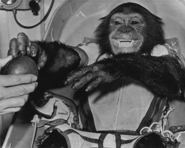 Photograph of Ham the Chimpanzee Reaching for an Apple after Landing Safely inside a Mercury Capsule
