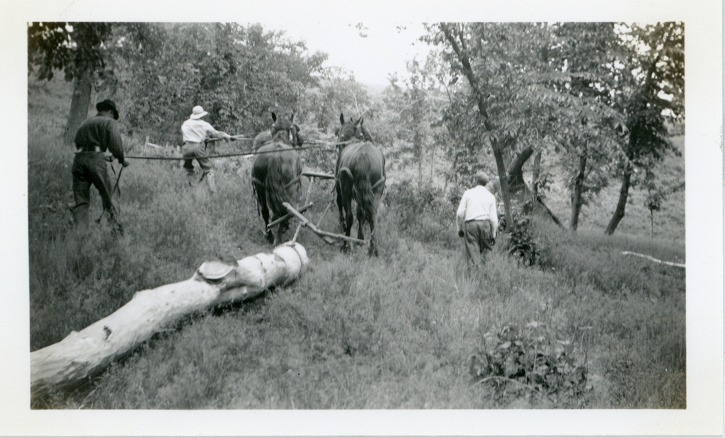Men Using Horses to Haul Logs for Root Cellar