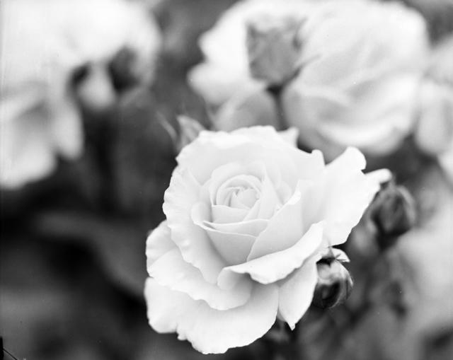 [Rose Show at Bagatelle]