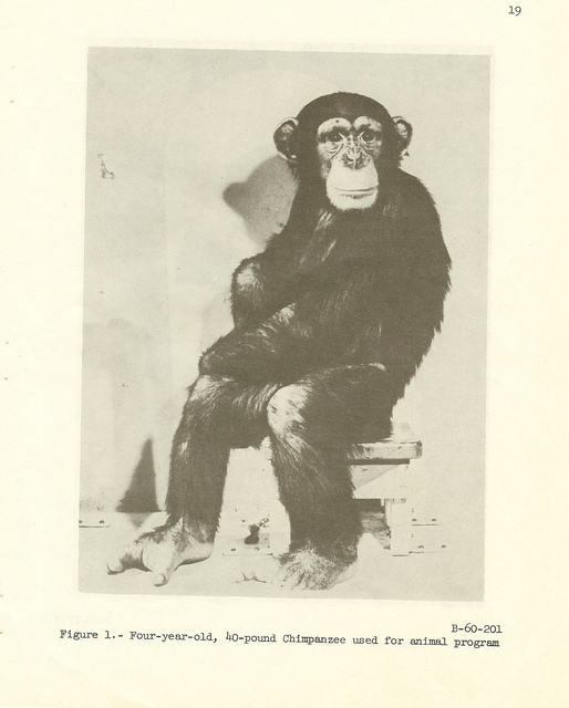 Chimpanzee Used in Animal Flight Program