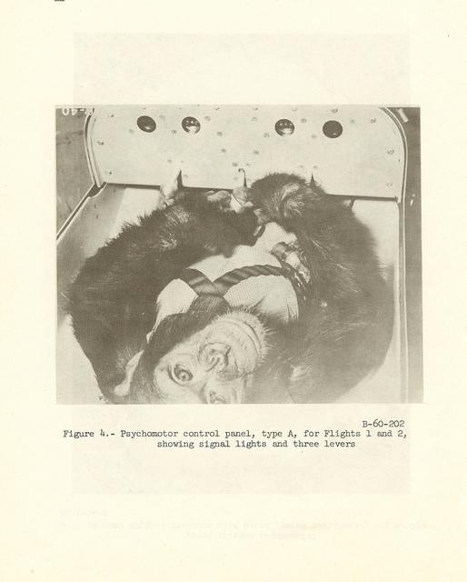 Chimpanzee with Psychomotor Control Panel