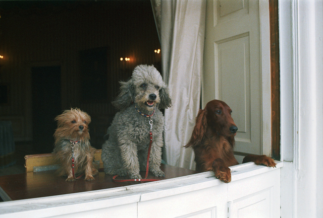 Richard Nixon's Dogs King Timahoe, Vicky, and Pasha Sit in a Row and Peer Out of a White House Window
