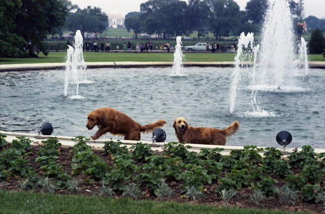 Photograph of President Gerald R. Ford's Dog Liberty and Another Golden Retriever Playing in the South Lawn Fountain at the White House