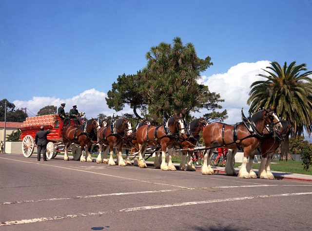 Anheuser-Busch Clydesdale hitch at the Presidio of San Francisco