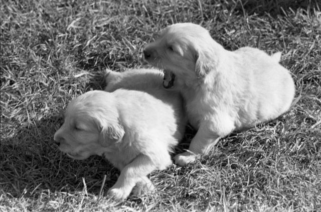 Golden Retriever Puppies Playing on the South Lawn of the White House