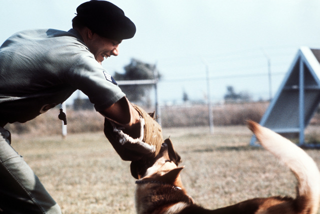 SRA Kevin Day, wearing a padded arm protector, is attacked by another handler's dog during a workout on the K-9 obedience training course. SRA Day is the winner of the Outstanding AIRMAN of the Year award