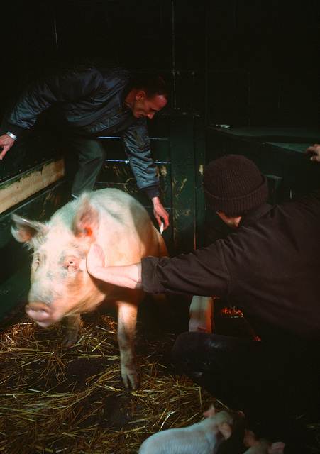 TECH. SGT. Frank Sefranic, a correctional specialist, is assisted by an inmate as he vaccinates a sow at the U.S. Disciplinary Barracks