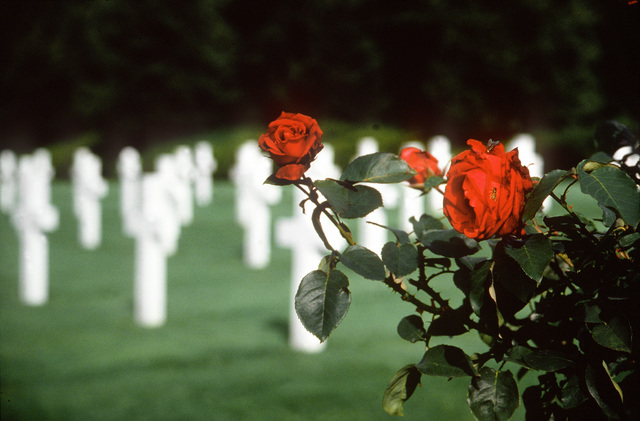 A bush of red roses in full bloom with the crosses of American soldiers killed in World War II in the background in the American cemetery in Luxembourg. Exact Date Shot Unknown