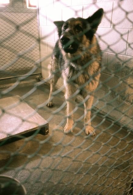A K-9 patrol dog as seen through a kennel fence
