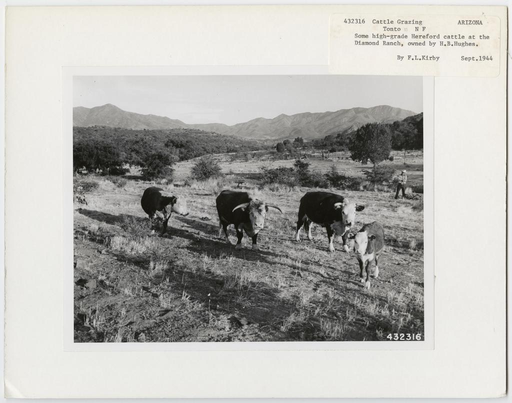 Cattle Grazing - Arizona