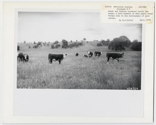 Cattle Grazing - Arizona