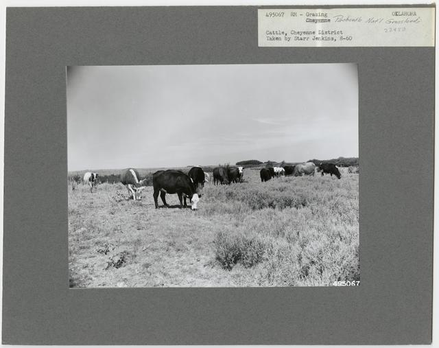 Cattle Grazing - Oklahoma