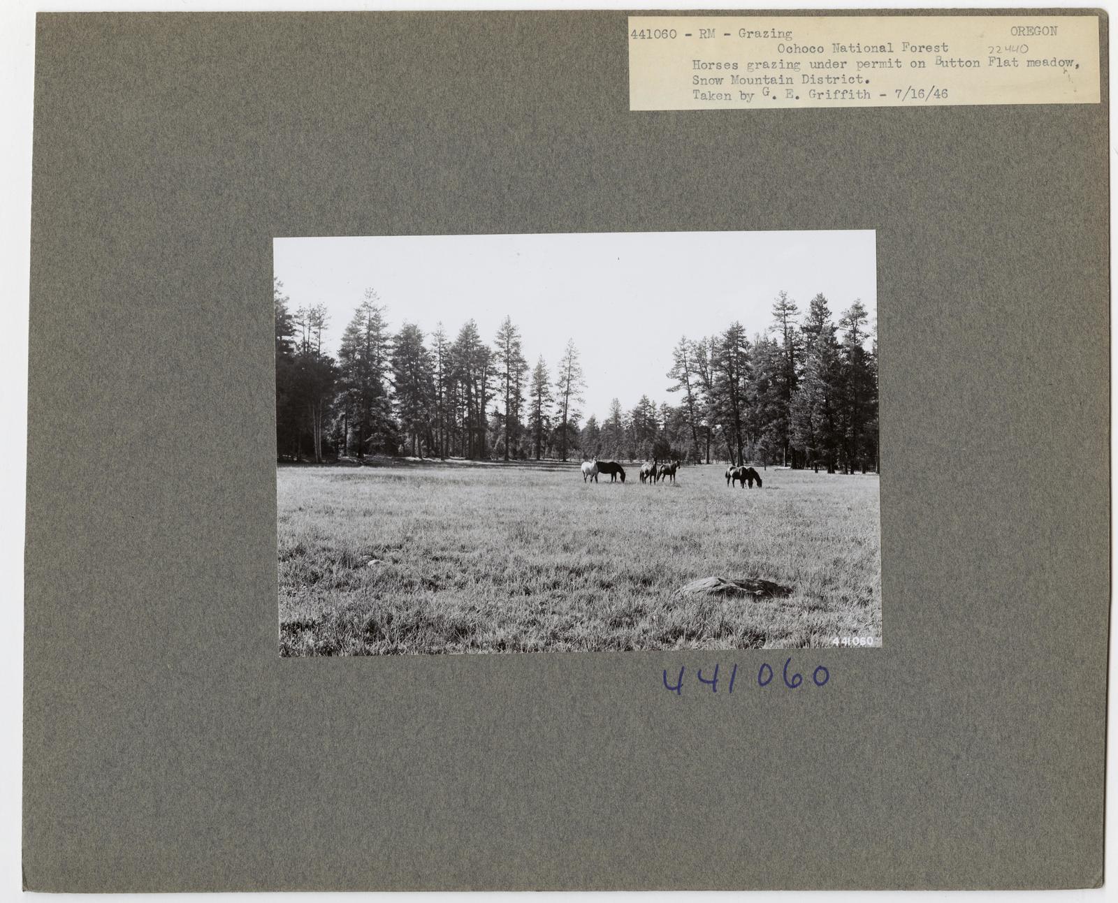Cattle Grazing - Oregon